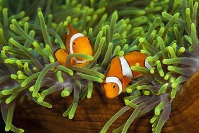 Couple Orange Ringlet-Anemone Fish, Amphiprion Ocellaris, Florida Islands, the Solomon Islands by Reinhard Dirscherl