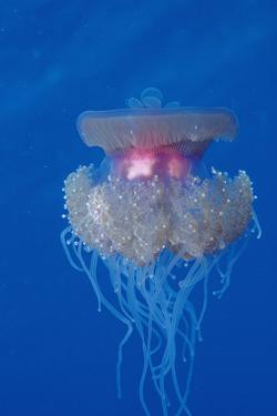 Crown Jellyfish (Netrostoma Setouchina), Red Sea, Egypt. by Reinhard Dirscherl