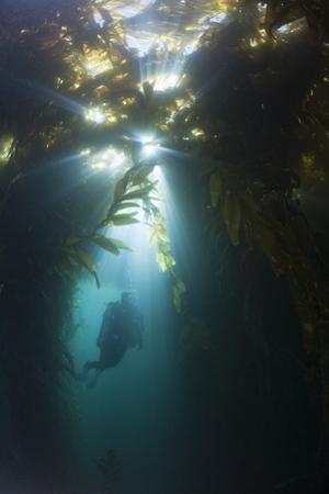 Diving in Kelp Wood, Macrocystis Pyrifera, San Benito Island, Mexico by Reinhard Dirscherl