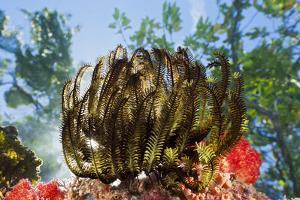 Feather Star on Reef Roof, Comanthina Schlegeli, Marovo Lagoon, the Solomon Islands by Reinhard Dirscherl