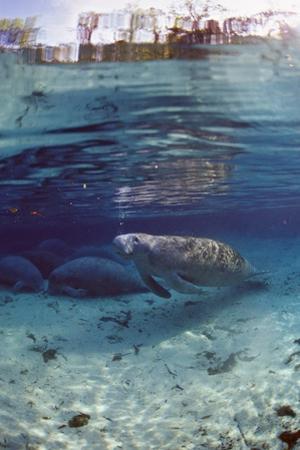 Florida Manatee (Trichechus Manatus Latirostris), Everglades, Florida, USA by Reinhard Dirscherl