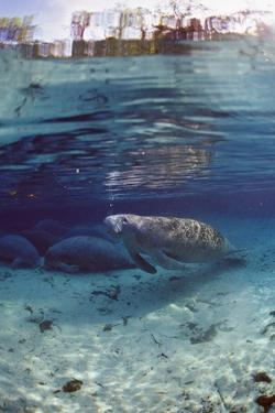 Florida Manatee (Trichechus Manatus Latirostris), Everglades, Florida, USA by Reinhard Dirscherl