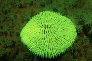 Fluorescing Mushroom Coral (Ctenactis Echinata), Komodo National Park, Indian Ocean. by Reinhard Dirscherl