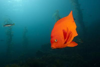 Garibaldifisch, Hypsypops Rubicundus, San Benito Island, Mexico by Reinhard Dirscherl