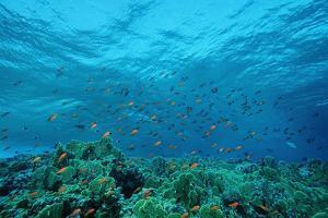 Harem Flag Basslet School above a Coral Reef (Pseudanthias Squamipinnis) by Reinhard Dirscherl