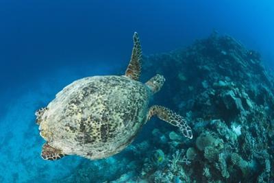 Hawksbill Turtle (Eretmochelys Imbricata) by Reinhard Dirscherl