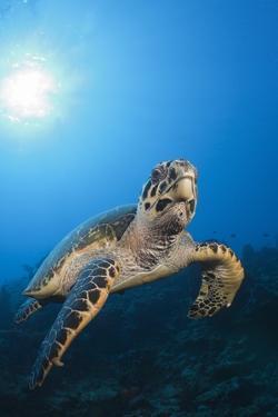 Hawksbill Turtle by Reinhard Dirscherl