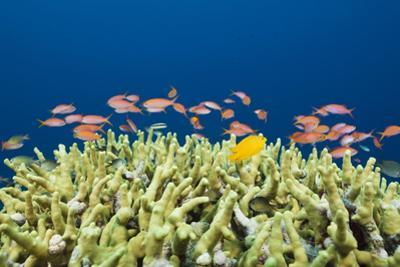 Jewels-Flag Perches in the Reef, Pseudanthias Squamipinnis, Russell Islands, the Solomon Islands by Reinhard Dirscherl