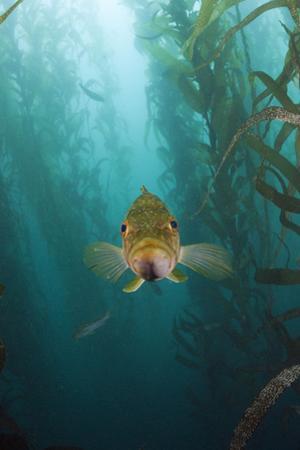 Kelp Bass Saw Perch, Paralabrax Clathratus, San Benito Island, Mexico by Reinhard Dirscherl