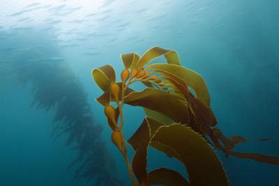 Kelp Wood Gigantic Seaweed, Macrocystis Pyrifera, San Benito Island, Mexico by Reinhard Dirscherl
