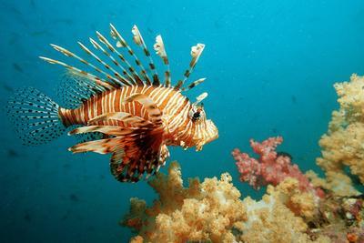 Lionfish or Turkeyfish (Pterois Volitans), Indian Ocean, Andaman Sea.