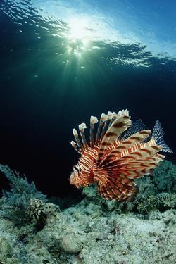 Lionfish or Turkeyfish (Pterois Volitans), Indonesia. by Reinhard Dirscherl