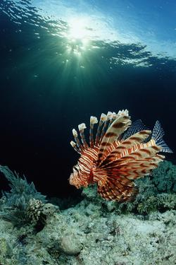 Lionfish or Turkeyfish (Pterois Volitans), Indonesia. by Reinhard Dirscherl