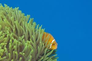 Maldives Anemonefish (Amphiprion Nigripes) by Reinhard Dirscherl