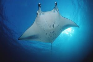 Manta Ray (Manta Birostris), Maldives Islands, Indian Ocean. by Reinhard Dirscherl