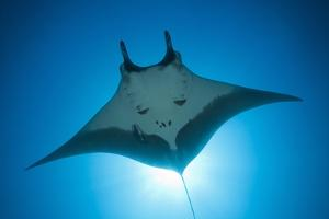 Manta Ray with Remora (Manta Birostris) by Reinhard Dirscherl