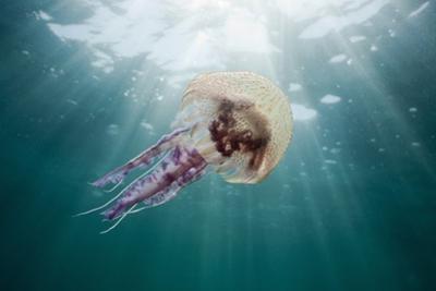 Mauve Stinger Jellyfish (Pelagia Noctiluca), Cap De Creus, Costa Brava, Spain by Reinhard Dirscherl