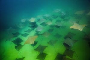 Pacific Cownose Rays (Rhinoptera Steindachneri) by Reinhard Dirscherl