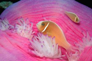 Pink Anemonefishes in a Sea Anemone (Amphiprion Perideraion), Pacific Ocean. by Reinhard Dirscherl