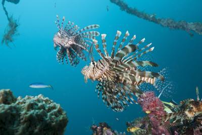 Red Lion Fish in the Mbike Wreck, Pterois Volitans, Florida Islands, the Solomon Islands by Reinhard Dirscherl