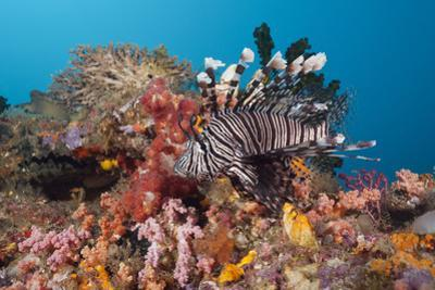 Red Lion Fish in the Reef, Pterois Volitans, Raja Ampat, West Papua, Indonesia by Reinhard Dirscherl