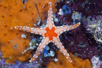 Red Mesh Starfish, Fromia Monilis, Ambon, the Moluccas, Indonesia by Reinhard Dirscherl