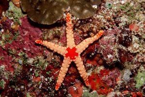 Red-Mesh Starfish (Fromia Monilis), Indian Ocean. by Reinhard Dirscherl
