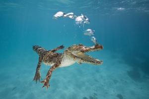 Saltwater Crocodile (Crocodylus Porosus), Queensland, Australia by Reinhard Dirscherl