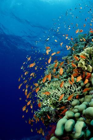 Schooling Lyretail Anthias and near a Coral Reef. (Pseudanthias Squamipinnis) Red Sea