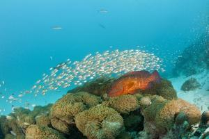 Schoolof Pygmy Sweepers and a Coral Grouper by Reinhard Dirscherl