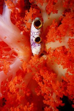 Sea Squirt Tunicate Growing in Soft Coral (Ascidia), Komodo National Park, Indian Ocean. by Reinhard Dirscherl