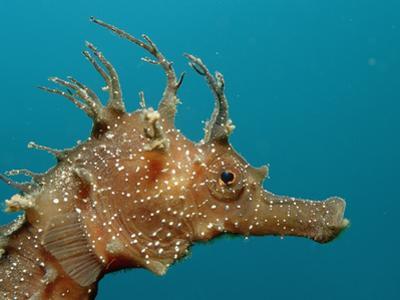 Seahorse Head (Hippocampus Guttulatus).