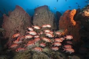 Soldierfish on Coral Reef by Reinhard Dirscherl