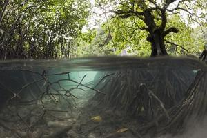 Split Image of Mangroves and their Extensive Underwater Prop Root System by Reinhard Dirscherl