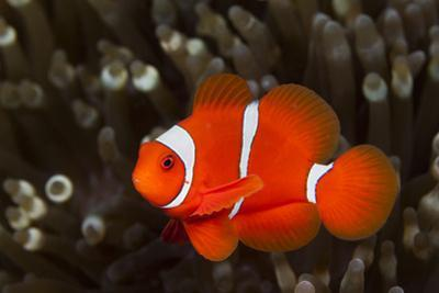 Sting-Anemone Fish, Premnas Aculeatus, Ambon, the Moluccas, Indonesia by Reinhard Dirscherl