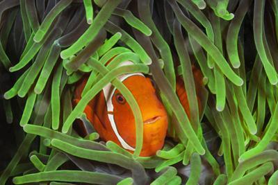 Sting-Anemone Fish, Premnas Aculeatus, Raja Ampat, West Papua, Indonesia by Reinhard Dirscherl