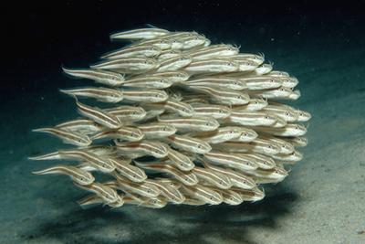 Striped Eel Catfish School (Plotosus Lineatus).