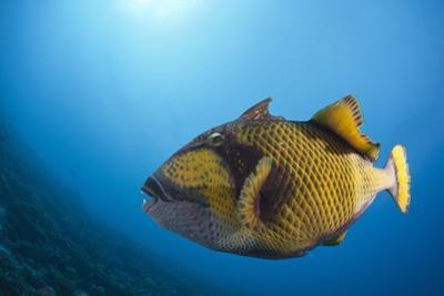 Titan Triggerfish (Balistoides Viridescens) by Reinhard Dirscherl