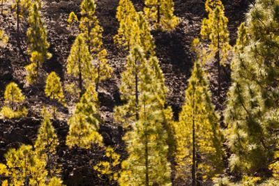 To Canaries Jaws in the Teide National Parks, Pinus Canariensis, Tenerife, Spain by Reinhard Dirscherl