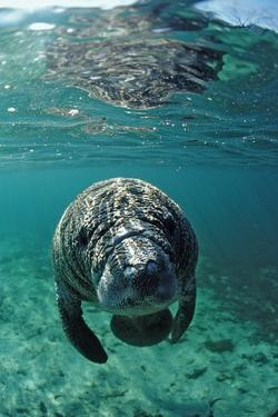 West Indian Manatee, Calf, Trichechus Manatus Latirostris, Usa, Florida, Fl, Crystal River by Reinhard Dirscherl