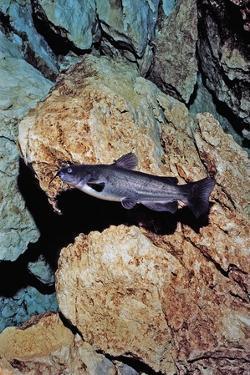 White Catfish (Ameiurus Catus), Crystal River, Florida, USA by Reinhard Dirscherl