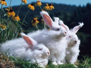 Domestic Angora Rabbits by Reinhard