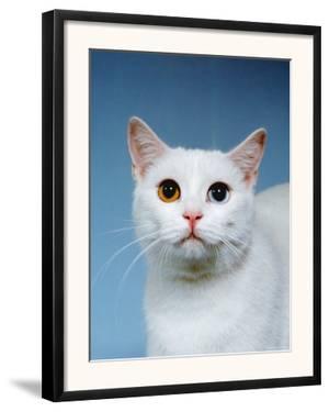 Domestic Cat, Odd-Eyed by Reinhard