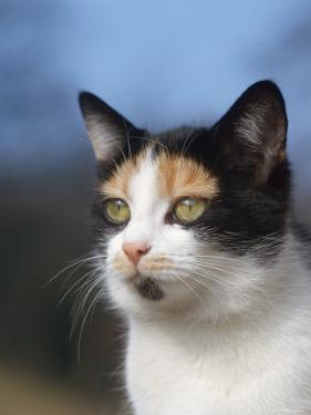 Domestic Cat Portrait, Europe by Reinhard
