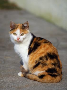 Domestic Cat Sitting (Felis Catus) Europe by Reinhard