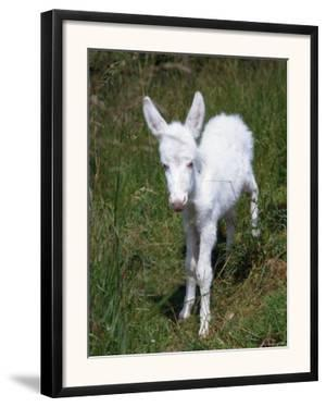 Domestic Donkey Foal, Albino, Europe by Reinhard