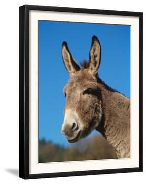 Domestic Donkey Head Portrait, Europe by Reinhard