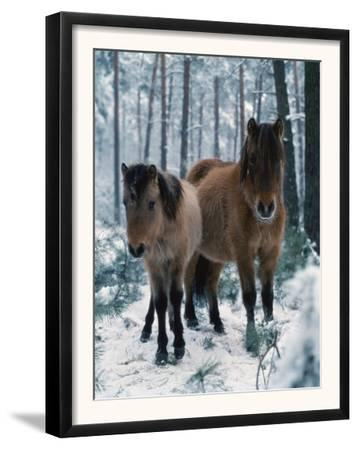 Domestic Horse, Dulmen Ponies, Mare with Foal in Winter, Europe