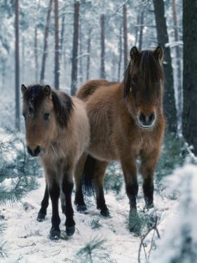 Domestic Horse, Dulmen Ponies, Mare with Foal in Winter, Europe by Reinhard