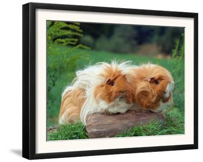 Domestic Peruvian Guinea Pigs (Cavia Porcellus) Europe